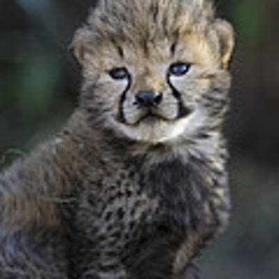 Very Young Cheetah Cub Maasai Mara Art Print by Suzi Eszterhas