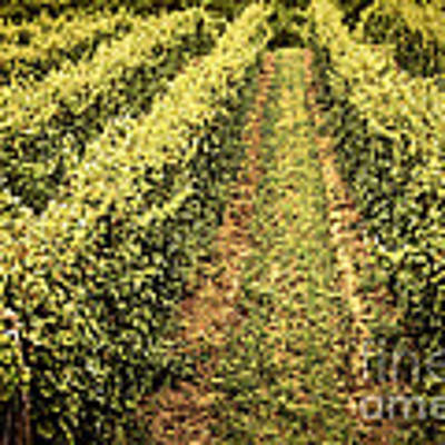 Vines Growing In Vineyard Art Print