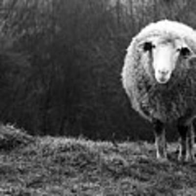Wondering Sheep Art Print by Ajven