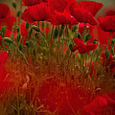 Poppy Flowers 06 Art Print by Nailia Schwarz