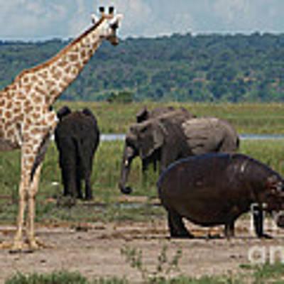 Giraffe Hippos And Elephants Art Print by Mareko Marciniak