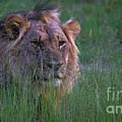 Lion In Grass Art Print by Mareko Marciniak