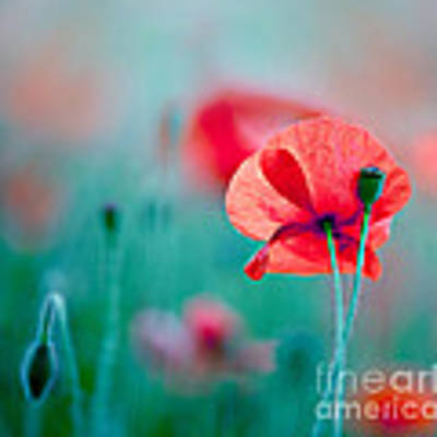 Red Corn Poppy Flowers 04 Art Print by Nailia Schwarz