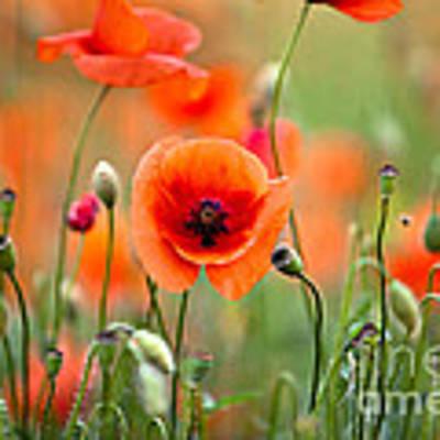 Red Corn Poppy Flowers 05 Art Print by Nailia Schwarz