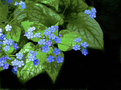 Photograph -  2008 Forget-me-not by Janis Nussbaum Senungetuk