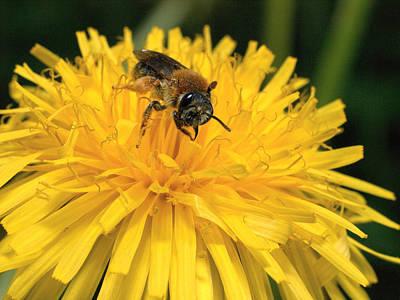Photograph -  A Bee In A Dandelion by Jouko Lehto