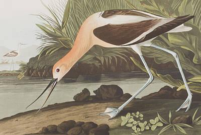 Pecking Drawing -  American Avocet  by John James Audubon