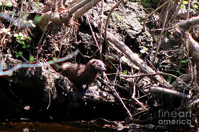 Photograph -  American Mink On The Banks Of Little River  by Neal Eslinger