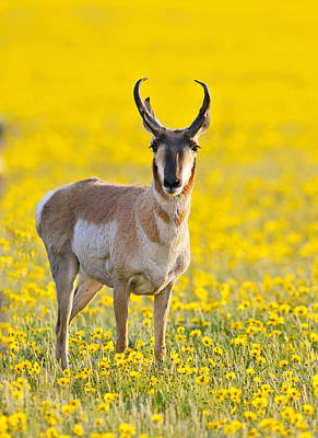 Pronghorn Photograph -  Antelope In Spring Wildflowers by Gary Buck Antelope in spring wildflowLangley