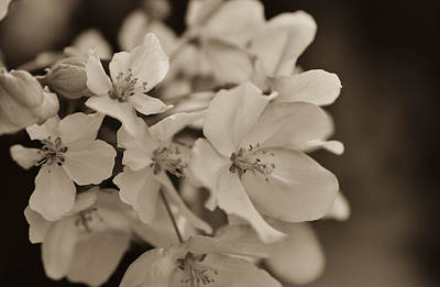 Photograph -  Apple Blosson 31 by Rae Ann  M Garrett