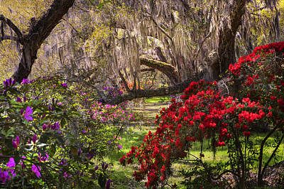 Photograph -  Azaleas In Oak Trees by Ken Barrett