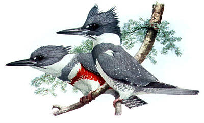 Beltedkingfisher  Original by Louis Agassiz Fuertes