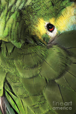 Bluefronted Amazon Parrot Art Print by Neil Overy