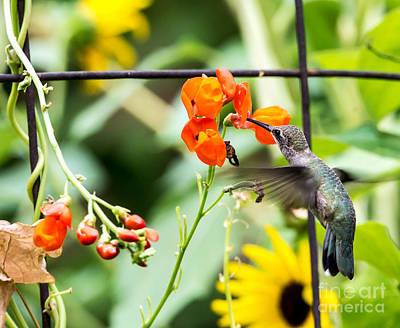 Broad Tail Photograph -  Broad-tailed Hummingbird 3 - Utah by Gary Whitton