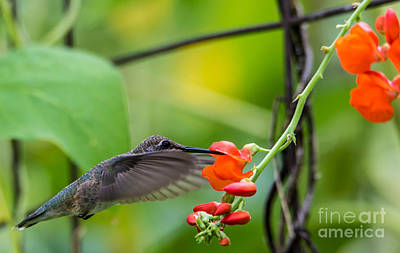Broad Tail Photograph -  Broad-tailed Hummingbird 6 - Utah by Gary Whitton