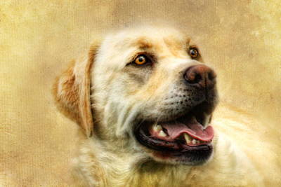 Retriever Digital Art -  Cass by Trudi Simmonds