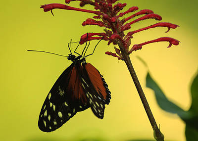 Photograph -  Common Lacewing Butterfly On Red Flower by Joni Eskridge