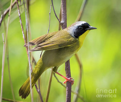 Photograph -  Common Yellowthroat Warbler by Ricky L Jones