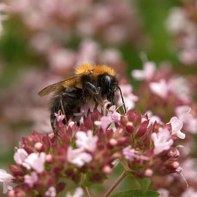 Photograph -  Cuckoo Bumblebee 3 by Jouko Lehto