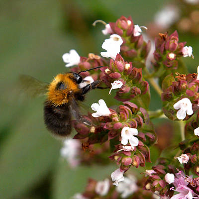 Photograph -  Cuckoo Bumblebee by Jouko Lehto