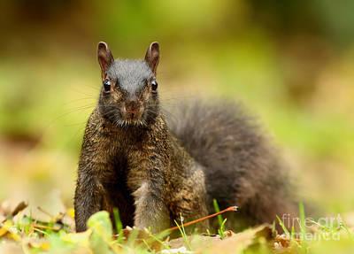 Curious Black Squirrel Art Print