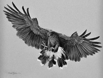Animals Drawings - Harriss Hawk by Daniel Adams