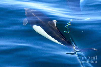 Photograph -  Dall's Porpoise Phocoenoides Dally 2015 by California Views Archives Mr Pat Hathaway Archives