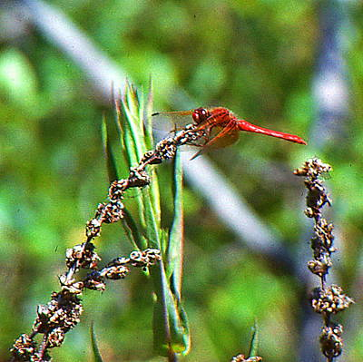 Photograph -  Dragon Fly by Ansel Price