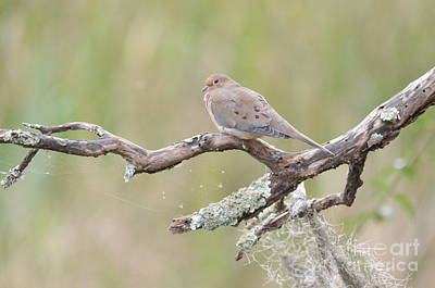 Photograph -    Early Mourning Dove by Kathy Gibbons