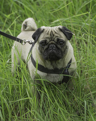 Photograph -  Fawn Pug by Evgeny Lutsko