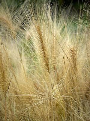 Jouko Lehto Royalty-Free and Rights-Managed Images -  Foxtail barley by Jouko Lehto