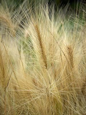 Jouko Lehto Royalty-Free and Rights-Managed Images -  Foxtail barley by Jouko Lehto