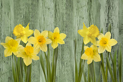Photograph -  Fresh Spring Daffodils by Gillian Dernie