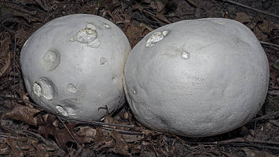 Photograph -  Giant Puffball Mushroom by Phil Cardamone