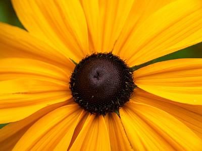 Vermeer Rights Managed Images -  Goldilocks Gloriosa Daisy 2 Royalty-Free Image by Jouko Lehto