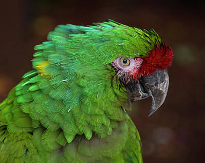 Great Green Macaw Ara Ambiguus Art Print by Mitch Spence