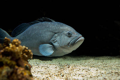 Photograph -  Grumpy Grouper by Robin-Lee Vieira
