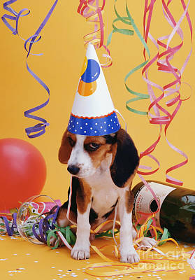 Puppy Photograph -  Happy Birthday Beagle Puppy by Stan Fellerman
