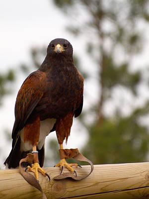 Photograph -  Harris's Hawk by Jouko Lehto