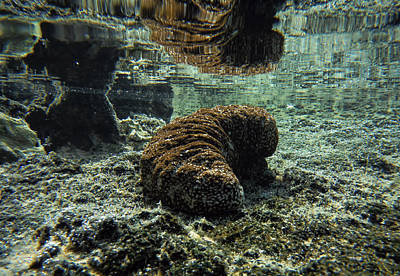 Photograph -  Hawaiian Sea Cucumber by Pamela Walton