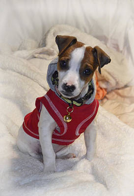 Photograph -  Hoodie Jack Russell Terrier  Puppy by Ann Bridges