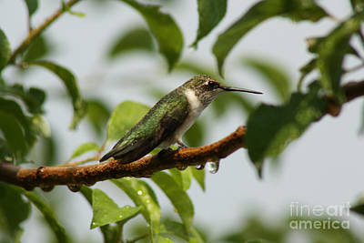 Photograph -  Hummingbird Drying Off After The Rain  by Cathy Beharriell