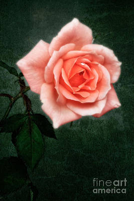 Hybrid Tea Rose Variety Congratulations Art Print