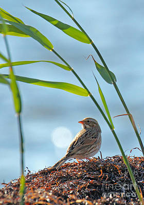 Sparrow Photograph -  Ipswich Sparrow - Tote by Jennifer Robin