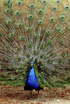 Art Print featuring the photograph  Iridescent Blue-green Plumage by LeeAnn McLaneGoetz McLaneGoetzStudioLLCcom