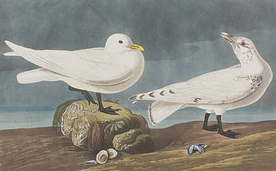 Gull Wall Art - Painting -  Ivory Gull by John James Audubon