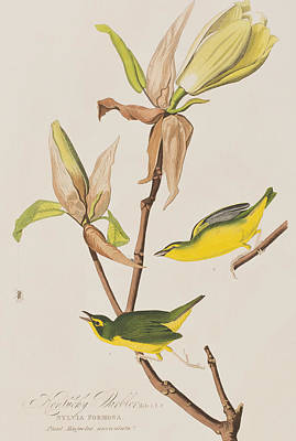Warbler Painting -  Kentucky Warbler by John James Audubon