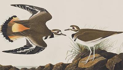 Plover Painting -  Kildeer Plover by John James Audubon