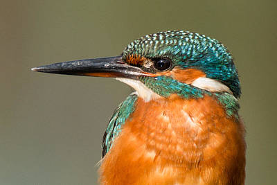 Kingfisher Photograph -   Kingfisher by Ian Hufton