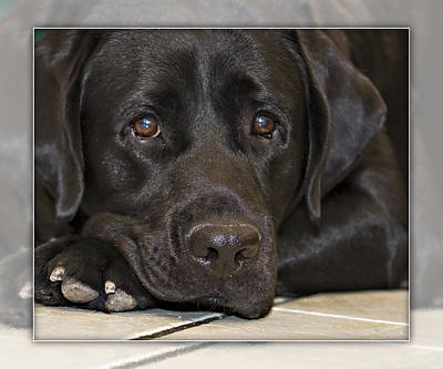 Photograph -  Labrador Retriever A1a by Walter Herrit